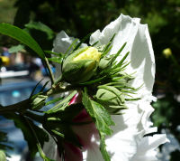 Hibiscus syriacus L. 'China Chiffon'
