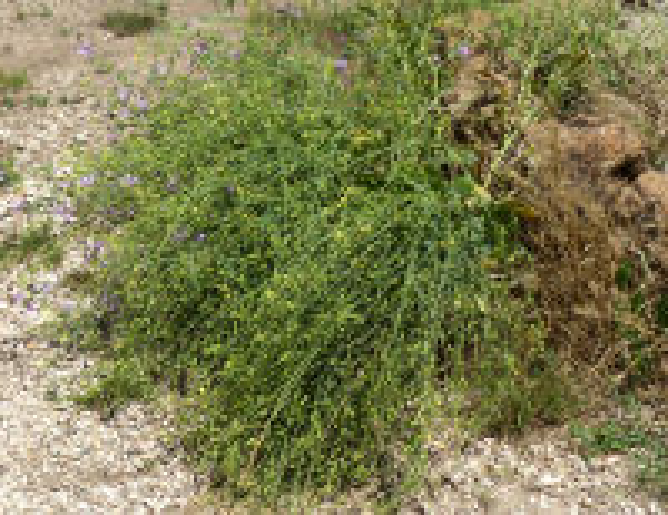 Raphanus raphanistrum L. subsp. landra (Moretti ex DC.) Bonnier & Layens