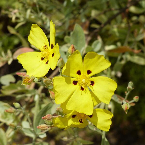 Halimium halimifolium (L.) Willk. subsp. halimifolium