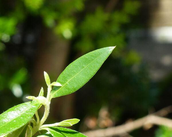Myrtus communis L. 'Pumila'