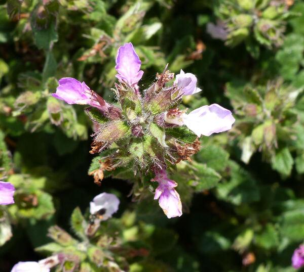 Teucrium chamaedrys L.