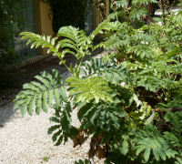 Melianthus major L.
