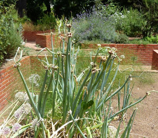 Allium ascalonicum L.