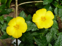 Turnera ulmifolia L.