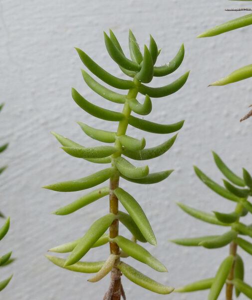 Crassula tetragona L. subsp. robusta (Toelken) Toelken