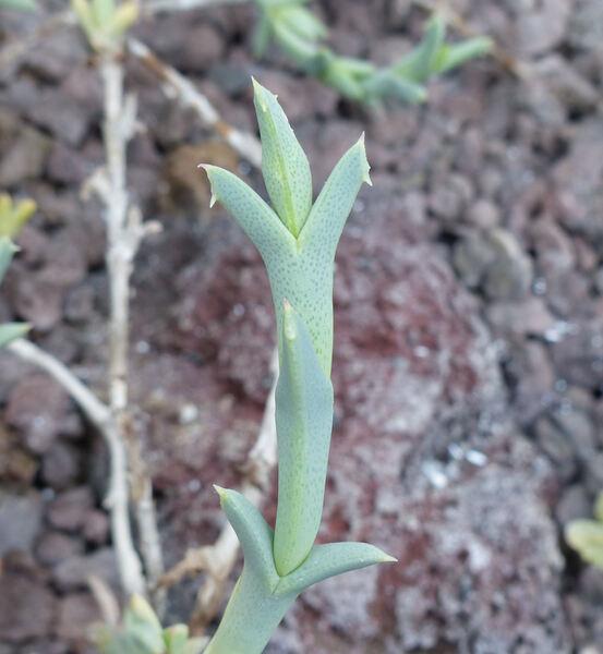 Ruschia perfoliata (Mill.) Schwantes