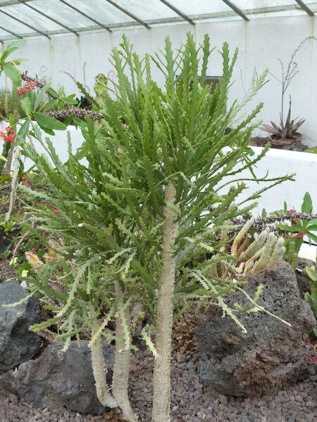 Euphorbia ramipressa Croizat