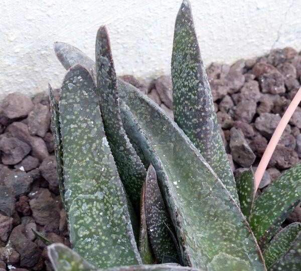Gasteria bicolor Haw. 'Maculata'