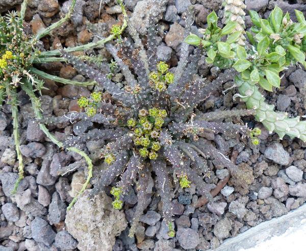 Euphorbia woodii N.E.Br.