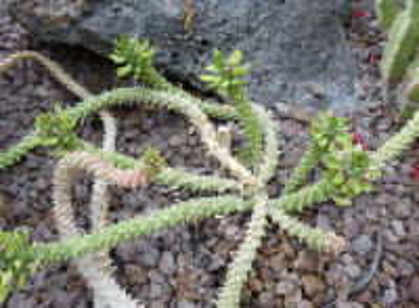Euphorbia guentheri (Pax) Bruyns