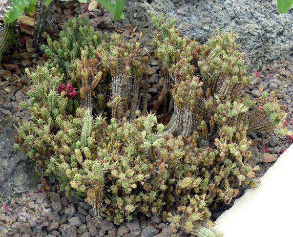 Euphorbia submammillaris (A.Berger) A.Berger