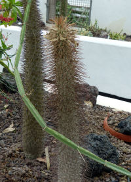 Pachypodium namaquanum (Wyley ex Harv.) Welw.