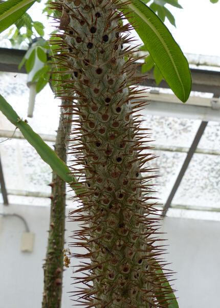 Pachypodium lamerei Drake