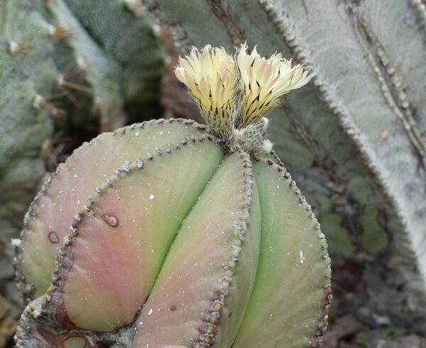 Astrophytum myriostigma Lem. 'Nudum'