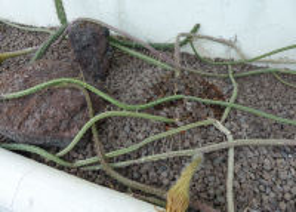 Selenicereus grandiflorus (L.) Britton & Rose