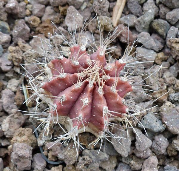 Gymnocalycium mihanovichii (Fric ex Gürke) Britton & Rose