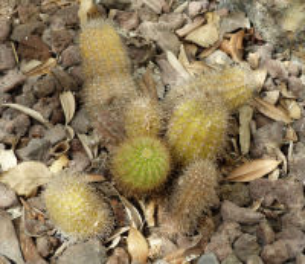 Echinocereus scheeri (Salm-Dyck) Scheer