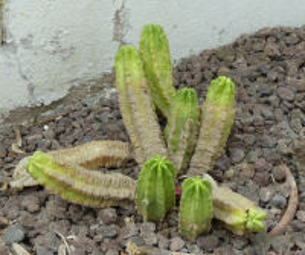 Echinocereus viereckii Werderm. var. morricalii (Ríha) N.P.Taylor
