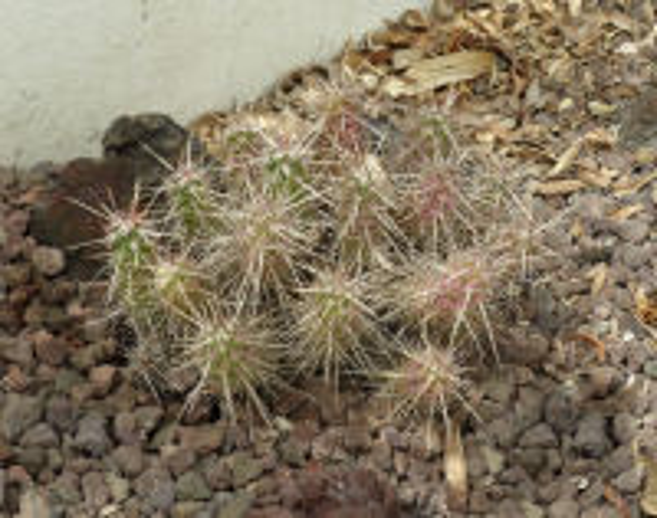 Echinocereus hancockii E.Y.Dawson