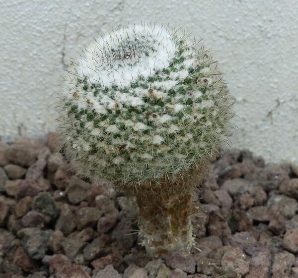 Mammillaria hahniana Werderm.