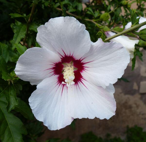 Hibiscus syriacus L.