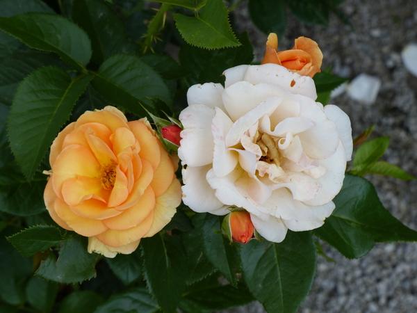 Rosa 'Portorož ®'