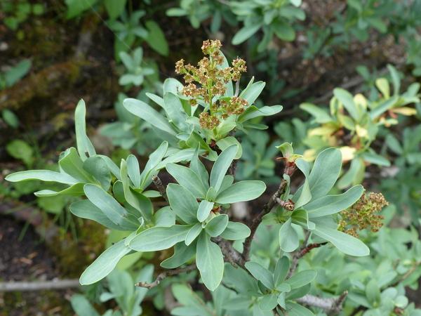 Sibiraea altaiensis (Laxm.) C.K. Schneider var. croatica (Degen) G. Beck