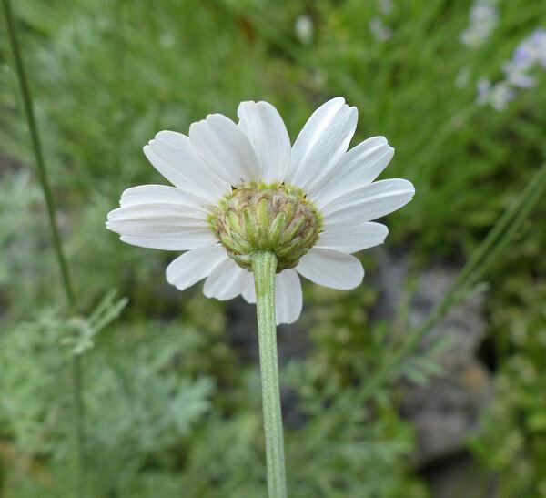 Tanacetum cinerariifolium (Trevir.) Sch.Bip.