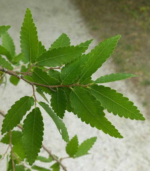 Zelkova carpinifolia (Pall.) K.Koch