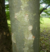 Zelkova serrata (Thunb.) Makino