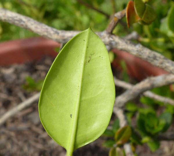 Carissa bispinosa (L.) Desf. ex Brenan