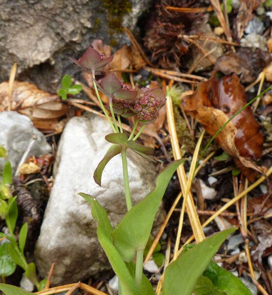 Bupleurum longifolium L. subsp. longifolium