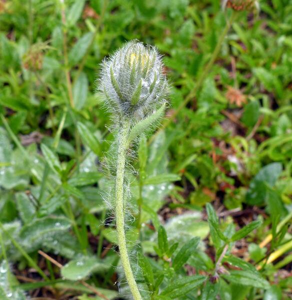 Hieracium alpinum L.