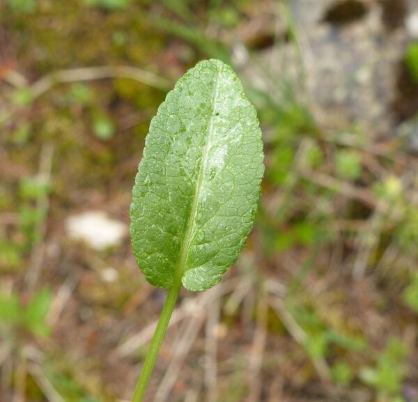 Phyteuma orbiculare L.