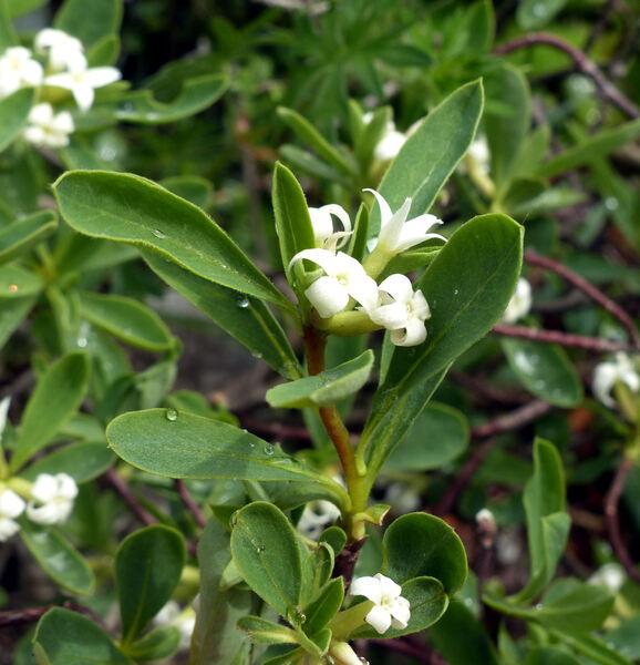 Daphne alpina L. subsp. alpina