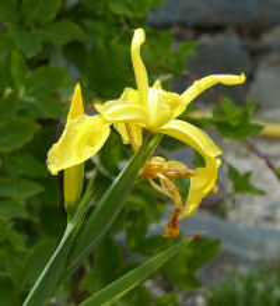 Iris crocea Jacquem. ex R.C.Foster