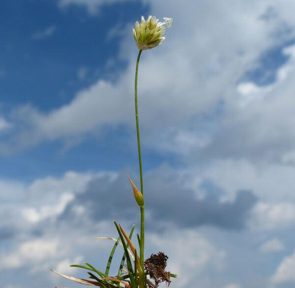 Sesleriella sphaerocephala (Ard.) Deyl
