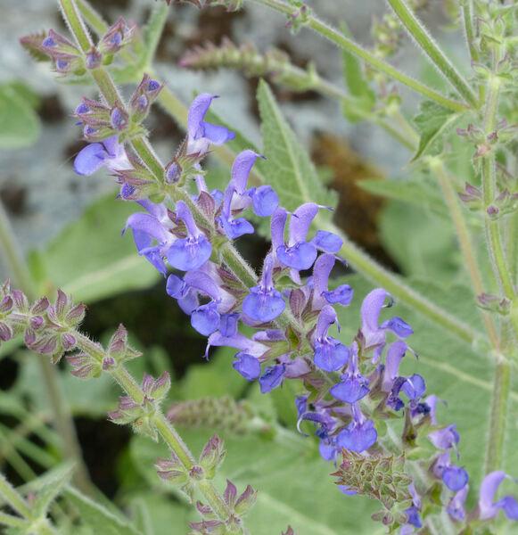 Salvia dumetorum Andrz. ex Besser