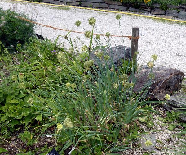Allium obliquum L.