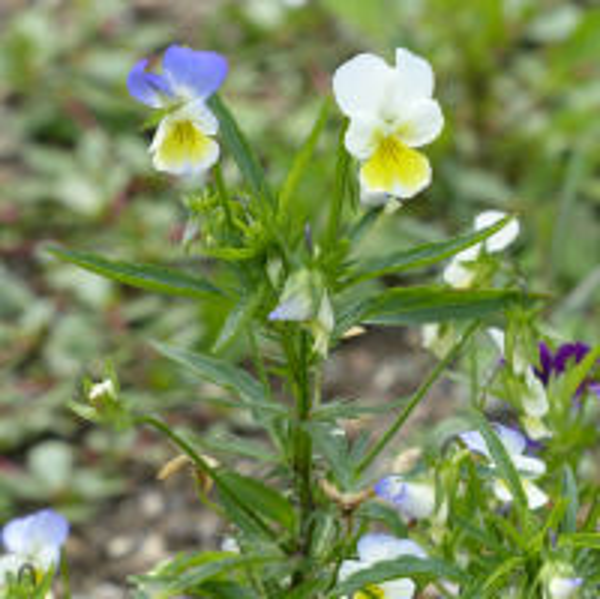 Viola tricolor L. subsp. tricolor