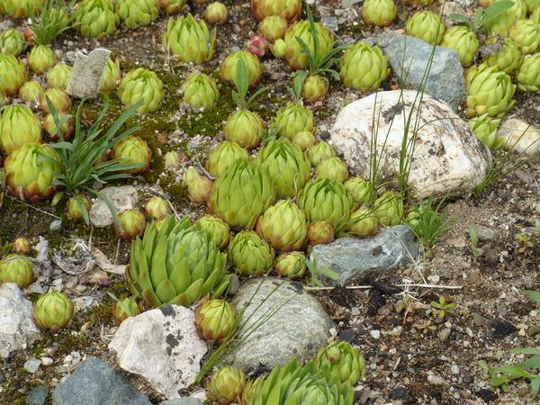 Jovibarba globifera J. Parn. var. glabrescens (Sabr.) Hadrava & Miklánek