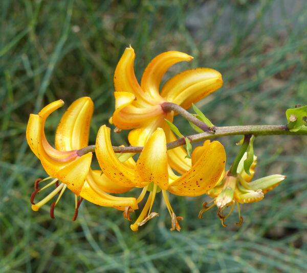 Lilium hansonii Leichtlin ex D.D.T. Moore