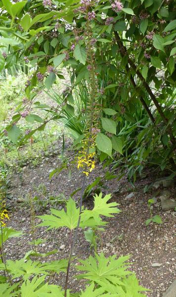 Ligularia przewalskii (Maxim.) Diels