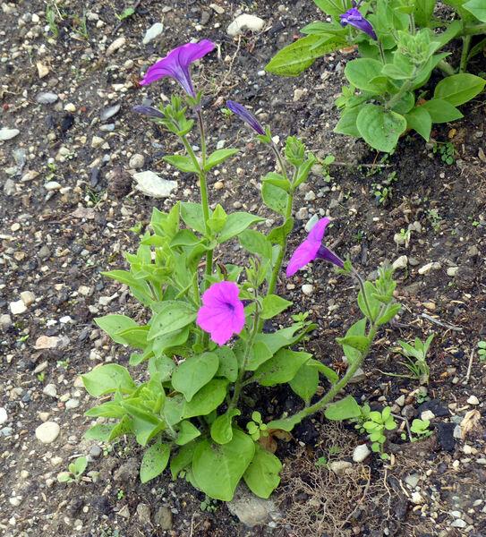 Petunia integrifolia (Hook.) Schinz & Thell.