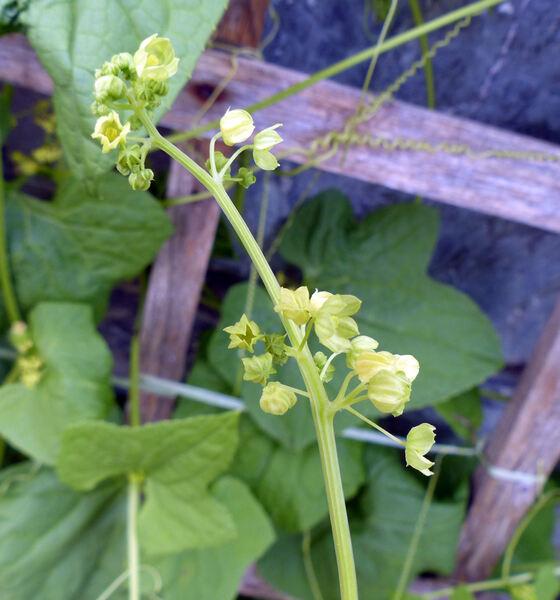 Cyclanthera brachystachya (Ser.) Cogn.