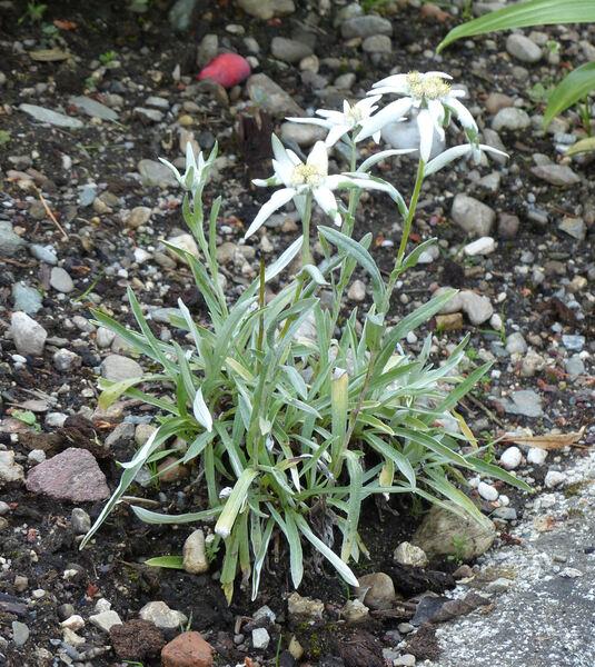 Leontopodium himalayanum DC.