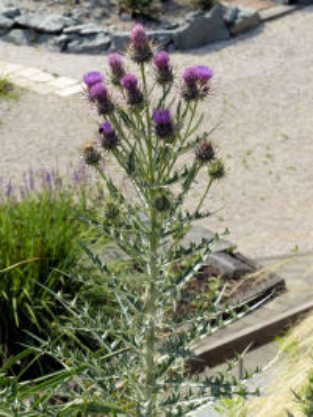 Ptilostemon afer (Jacq.) Greuter