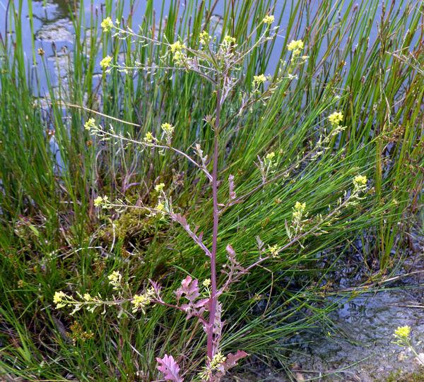 Rorippa palustris (L.) Besser