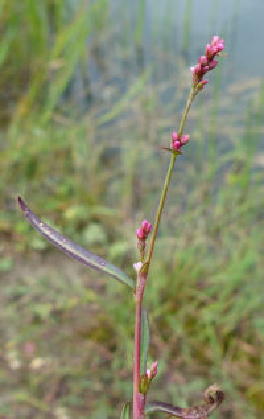 Persicaria minor (Huds.) Opiz