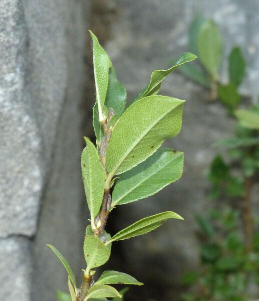 Salix breviserrata Flod.